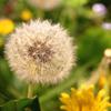 david cook cheltenham photographer bss dandelion
