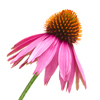 david cook cheltenham photographer bss echinacea flower 1