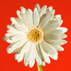 david cook cheltenham photographer white gerbera