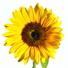 david cook cheltenham photographer sunflower