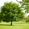 oak tree Pittville Park Cheltenham