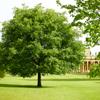 oak tree Pittville Park Cheltenham