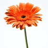 orange gerbera stem